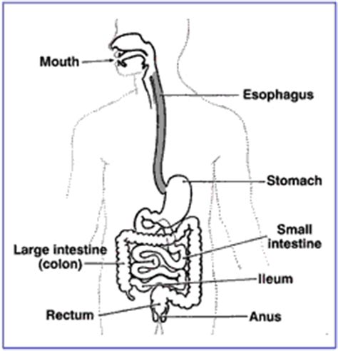 development   digestive system boundless anatomy