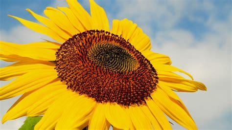 sunflower  wallpaper hd wallpaper background