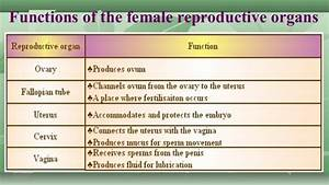 1st Science 2 Function Of Female Reproductive System
