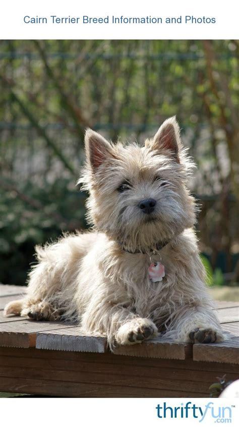 cairn terrier breed information   thriftyfun