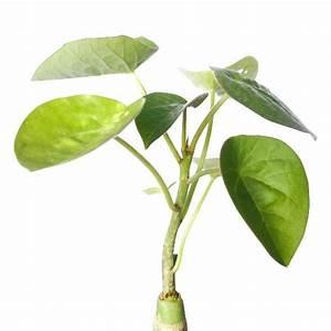 Adenia Volkensii Succulent