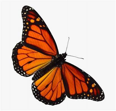Butterfly Monarch Clipart Orange Transparent Clip Pieridae