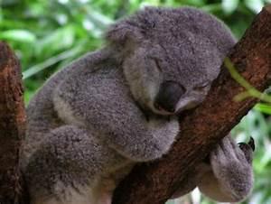 angry koala baby meme generator MEMES