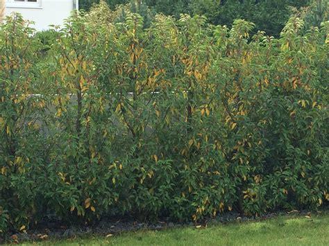 Kirschlorbeer Krankheiten Gelbe Blätter by Portugiesischer Kirschlorbeer Bekommt Gelbe Bl 228 Tter