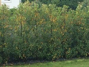 Portugiesischer Kirschlorbeer Düngen : portugiesischer kirschlorbeer bekommt gelbe bl tter ~ Watch28wear.com Haus und Dekorationen