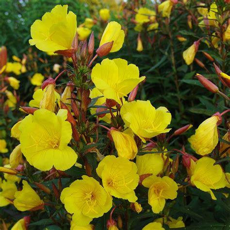 Oenothera fruticosa Fireworks | White Flower Farm