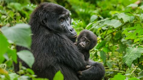el peligro  amenaza  los gorilas