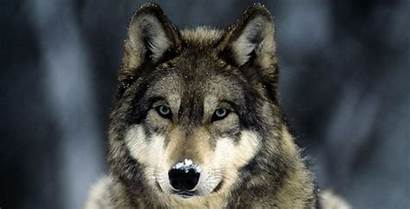 Wolves Wolf Grey Facts Listverse