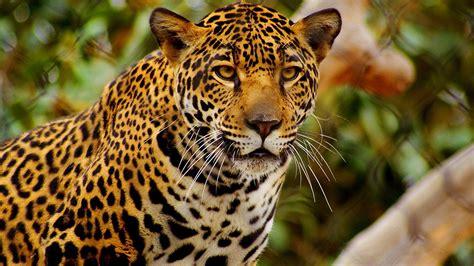 jaguar Wallpapers HD / Desktop and Mobile Backgrounds