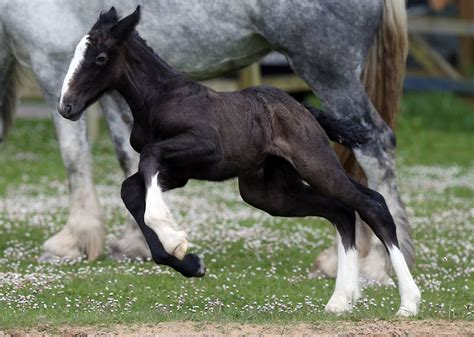 shire horse foal rare baby appearance makes animals horses england mother breed torture filly birthday cornwall orla getty monks immolating