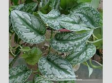 Photo of the leaves of Silver Philodendron Scindapsus