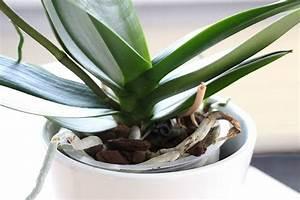 Orchideen Ohne Topf : wurzeln bei orchideen schneiden darf man luftwurzeln entfernen ~ Eleganceandgraceweddings.com Haus und Dekorationen