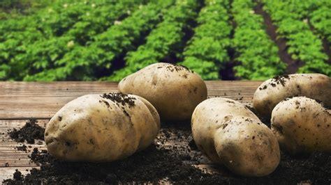 comment cuisiner la pomme de terre pomme de terre comment la planter et la cultiver jardinage