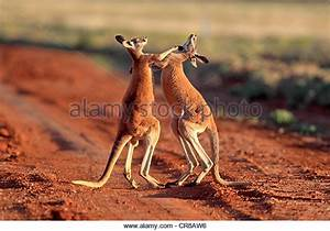 Australia Kangaroo Fighting Stock Photos & Australia ...