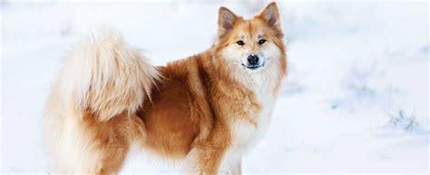 icelandic sheepdog dog breed profile petfinder