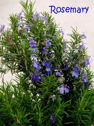 rosemary plant picture rosemary awoodcarversdaughter