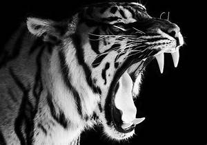 animal, beautiful, black and white, cute, tiger ...