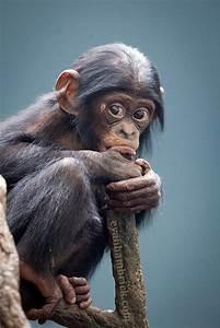 baby chimpanzee looking luvbat
