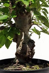 Bonsai Pflege Für Anfänger : bonsaipflege online shop bonsai informationen pflegeanleitungen ~ Frokenaadalensverden.com Haus und Dekorationen