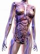 Human Anatomy stock illustration. Illustration of ...