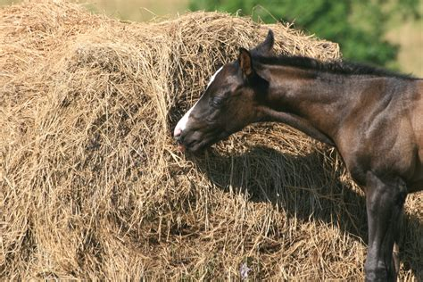 hay horses horse animal natural