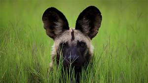 7 African wild dog HD Wallpapers | Backgrounds - Wallpaper ...