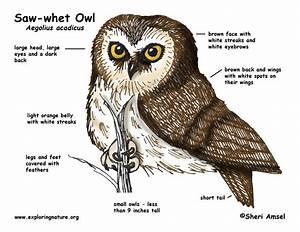 Owl  Saw