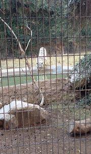 White tiger   Zoo, White tiger, Wildlife