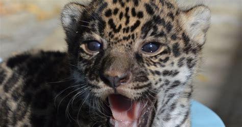 UPDATE: Living Desert's Jaguar cub passes first well-baby exam