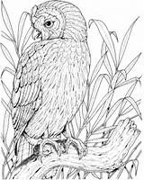 Owl Coloring Pages Printable Owls Birds Perched Adults Realistic Drawing Sheets Bird Adult Version Colouring Burrowing Coloringpages101 Visit Colored Getdrawings sketch template