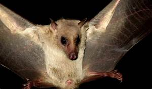 Facts About Egyptian Fruit Bats - Some Interesting Facts