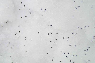 tiny black bugs  jump