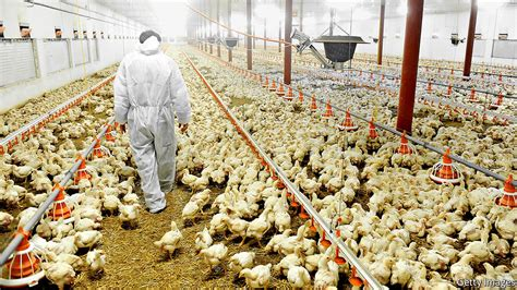 chicken farm how the use of antibiotics in poultry farming changed the