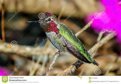 Annas Hummingbird stock photo. Image of ruby, colorful ...