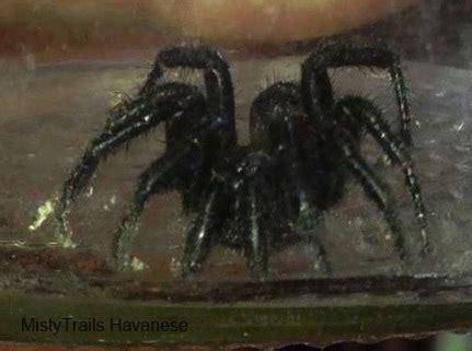 pictures   black wolf spider
