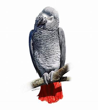 African Parrot Grey Owen Bell Digital Transparent