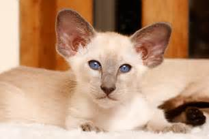 images of cats your cat siamese cat breed profile cat breed profiles