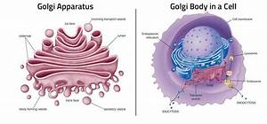 Golgi Body Facts  40 Facts On What  Structure  U0026 Functions