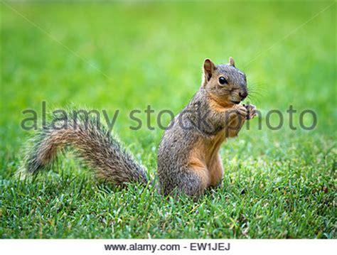 eastern fox squirrel sciurus niger pecan nut
