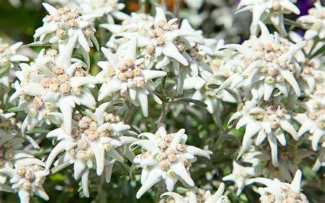 edelweiss fiore alpino i fiori alpini da non perdere durante una gita in montagna