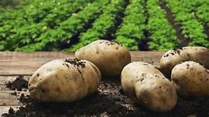 Période Pour Planter Les Pommes De Terre : pomme de terre comment la planter et la cultiver jardinage ~ Melissatoandfro.com Idées de Décoration