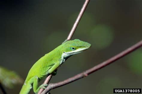 green anole green anole anolis carolinensis wildlife journal junior