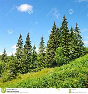 Beautiful, Pine, Trees, Stock, Photo, Image, Of, Color, Europe