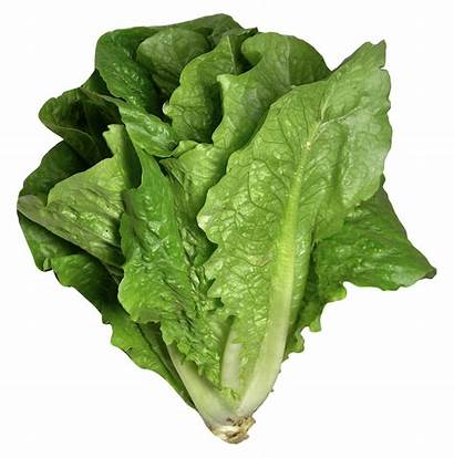Lettuce Romaine Transparent Vegetable Clipart Leaf Purepng
