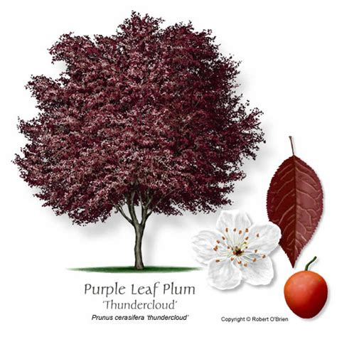 thundercloud purple leaf plum ufei selectree a tree selection guide
