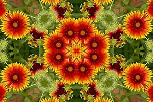 Indian Blanket Flower Kaleidoscope Photograph by Bill Barber