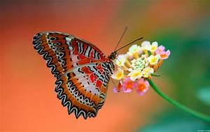 butterfly on flower wallpapers hd wallpapers id 11608