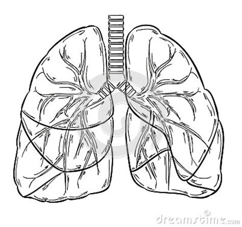 lungs sketch stock vector image