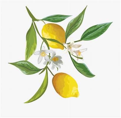 Tree Lemon Watercolor Clipart Citrus Lemons Fruit