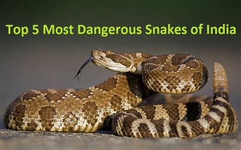 Top 5 Most Dangerous Snakes Of India You Don't Know Top